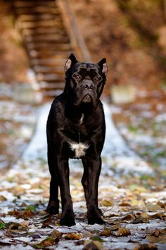 "Did you know the Cane Corso's name means ""guardian"" or ""protector""? Find out more about this Italian beauty on the BBS Healthy Dog Blog! #canecorso #italiandogbreeds #dogs"