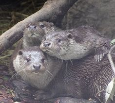 Otters crowd in for a photograph - September 21, 2014