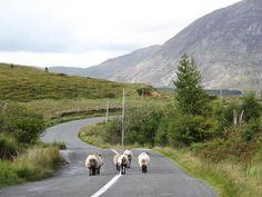 Rush Hour in the Inagh Valley, Connemara, Ireland. Love Ireland, Ireland Travel, Beautiful Birds, Animals Beautiful, Connemara Ireland, County Clare, Cottages By The Sea, Rush Hour, Irish Eyes