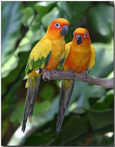 The Sun Conure (Aratinga solstitialis) is a medium-sized brightly colored parrot native to northeastern South America. Photo by Douglas Janson