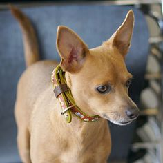 *ADOPTED*  Destro Age: 3 years (as of February 2015) Sex: male Breed: Chihuahua / Basenji mix Weight: 12 lbs Date Available: February 7, 2015  Destro is a dog that truly wants to please you. He is a gentleman on walks, takes direction well, and gets along with his fellow play mates in our small dog play groups.  His previous owners tell us he is house broken, calm, yet playful. In play group he is a player, starting the party and getting the other doggies involved in the fun.