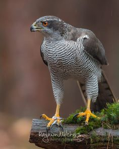 A male northern goshawk. What a awesome bird of prey 🤩 . Kinds Of Birds, Love Birds, Beautiful Birds, Animals Beautiful, Cute Animals, Northern Goshawk, Carosel Horse, Crows Ravens, Bird Pictures