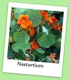 Top Ten Edible Flowers Your Chickens Will Love: nasturtium, squash blossom, marigold, violets, bee balm, dandelion, rose, sunflowers, clover blossom, echinacea... Plus: Apple blossoms, Calendula, Carnations, Chrysanthemums, Citrus blossoms, Eldberberry blossoms, Geraniums, Hibiscus, Hollyhock, Impatiens, Lavender, Lilac, Pansy, Pea blossoms, Peony, Phlox, Snap dragon