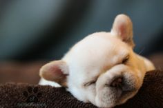 Squishy-faced French Bulldog Puppies Are My New Favorite Thing | Cutest Paw