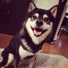 Happy Shiba smile!  #shibainu #柴犬 Shiba Inu, Happiness, Smile, Cats, Happy, Gatos, Bonheur, Ser Feliz, Being Happy
