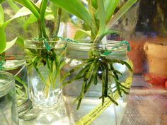 garden care tips Orchids in water culture Orchid care amp; Water Culture Orchids, Orchids In Water, Water Plants, Potted Plants, Orchid Planters, Orchids Garden, Fall Planters, Orchid Propagation, Orchid Fertilizer