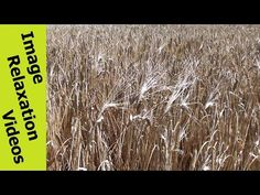 Wind Waving Wheat - Hypnotic Nature Hypnosis Relaxation Nature Sounds - 5 Minutes By IRV - http://www.imagerelaxationvideos.com/wind-waving-wheat-hypnotic-nature-hypnosis-relaxation-nature-sounds-5-minutes-irv/