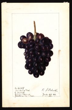 """Artist: Schutt, Ellen Isham, 1873-1955  Scientific name: Vitis  Common name: grapes   """"U.S. Department of Agriculture Pomological Watercolor Collection. Rare and Special Collections, National Agricultural Library, Beltsville, MD 20705"""""""