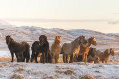 Icelandic Horses on a snowy hill [4000x3200] (OC)