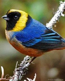 The golden-collared tanager (Iridosornis jelskii) is a species of bird in the…