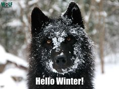 The Wolf Conservation Center teaches people about wolves, their relationship to the environment and the human role in protecting their future. Wolf Population, Largest Wolf, Winter Cycling, Hello Winter, Wolf Pictures, Wild Wolf, Wolf Spirit, My Face Book, Beautiful Creatures