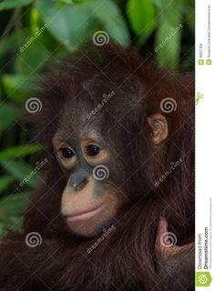 The Orangutan. Stock Photo - Image: 48027356