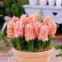 Hyacinth seeds Perennial rare Flower Seeds (not hyacinth bulb) Holland Hydroponic flower for home and garden Hyacinth Flowers, Rare Flowers, Bulb Flowers, Edible Flowers, Beautiful Flowers, Hydroponic Growing, Hydroponics, Planting Bulbs, Planting Flowers