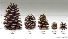 different types of conifer cones - Google Search