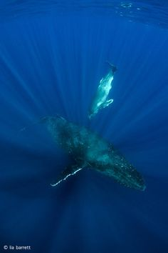 These beautiful humpback whales were photographed off the coast of Tonga by Prawno's Creative Director. They inspired our inventively titled design 'Whale'. Available on men's and women's tees on www.prawnoapparel.com.
