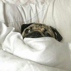 """No #Monday, go away!"" www.jointhepugs.com #pug"