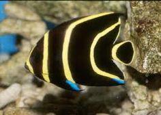 Atlantico Occidentale Tropicale - Pesci acqua dolce e salata d'acquario - descrizione, diffusione, alimentazione, riproduzione