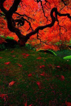 Autumn Maple tree, Portland Japanese Garden, Oregon