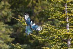 Blackbilled Magpie flying