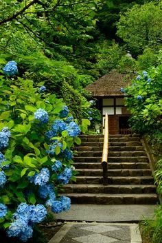 Temple hydrangeas, Kanagawa, Japan