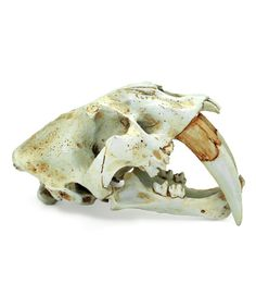 Look what I found on #zulily! Polyresin Saber-Toothed Tiger Skull Statue by Contrast #zulilyfinds