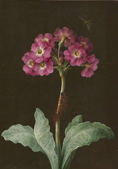 Primula with caterpillar on its stalk and dragonfly. Author: Maria Sibylla Merian (German, Medium: Gouache on paperLocation: The Courtauld Gallery, London Floral Illustration, Illustration Botanique, Illustration Blume, Art Floral, Vintage Botanical Prints, Botanical Drawings, Botanical Flowers, Botanical Art, Dibujos Pin Up