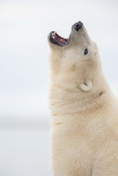 Polar bear (ursus maritimus) on the arctic coast of Alaska ©Patrick Endres / Design Pics