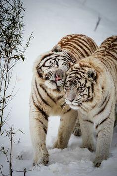 0rient-express:    Winter Love | byMathieu G.