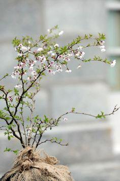 """Prunus incisa """"Kojo-no-mai"""""""