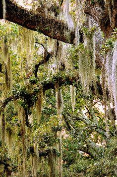 Spanish Moss by jtbramblett, via Flickr