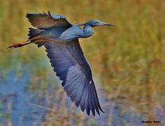 Special habitat - special birds - http://www.zambezitraveller.com/victoria-falls/birding/special-habitat-special-birds (Image credit - Slaty egret - Bradley White)