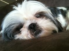 Gracie Lu is one Sleepy Shih Tzu.
