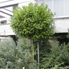 Deze blijft groen in de winter / Prunus Laurocerasus 'Rotundifolia' Laurierkers
