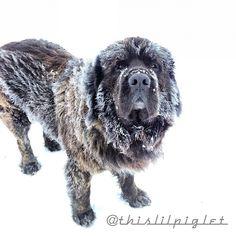 Frosty Newfoundland dog #RogersWinterWhites