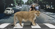 Imagine cost of cat food bill for Hercules a and liger who holds the Guinness World Record for the largest cat! Animal Pictures, Cute Pictures, African Tiger, London Tours, Rare Species, Russian Blue, Abbey Road, Cat Food, Bengal