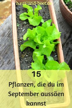 Sowing plans in September: prepare for winter! - House and bed - Aussaatkalender - Sowing plans in September – prepare for winter. The gardening year is not over. Greenhouse Gardening, Container Gardening, Winter Greenhouse, Greenhouse Plans, Le Baobab, Blueberry Bushes, Winter Vegetables, Palmiers, Companion Planting