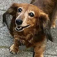 Available Pets At Dream Dachshund Rescue Education Adoption Mission In Houston Texas Dachshund Rescue Dachshund Adoption Dachshund
