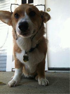 A Corgi always needs an extra set of ears