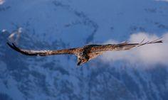 Vulturul cu barbă – Gypaetus barbatus