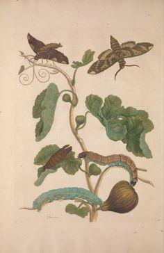 Metamorphosis insectorum surinamensium. - Biodiversity Heritage Library