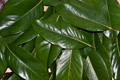 Magnolia Leaves    You will receive 40 or 80 leaves in your choice of color. These vary greatly in size- I usually see leaves 5-10 inches long. If