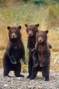 Bear Country: North America's Grizzly, Black and Polar Bears by Steve Kazlowski Three Grizzly Bear Cubs in the Katmai National Park and Preserve, Alaska - photo by Steven Kazlowski - Grizzly Bear Cub, Bear Cubs, 3 Bears, Polar Bears, Baby Bears, Panda Bears, Tiger Cubs, Tiger Tiger, Bengal Tiger