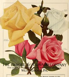 """Image from page 21 of """"Dingee guide to rose culture : for more than 60 years an authority"""" (1915) 