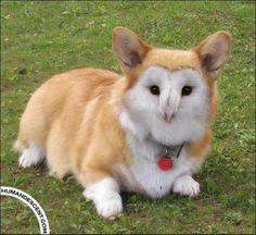 cute little corgie-owl