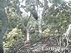 Check out Eagle Cam in Washington, DC, United States. http://www.earthcam.com/usa/dc/eagle/ Having a time hanging on because of the big time wind.  July 5, 2016