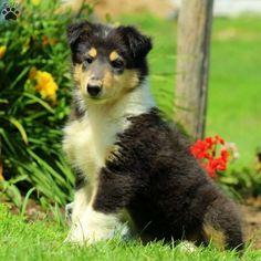 Luke is a spunky Collie puppy ready to be your new best friend! This charming pup is vet checked and up to date on shots and wormer. Luke is family raised with children, and the mother is the family's farm dog. To find out more about this lively pup, please contact Levi today!