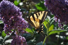 This is a pic I took of an Oregon Swallowtail Flutterby enjoying breakfast