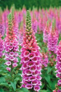 Butterflies adore these candy pink foxglove is a delicious sight in the garden. Most foxgloves have flowers that face down, but Candy Mountain's flowers face up... from the bottom of the spike all the way to the tip, a little difference that makes a big impact in the garden.
