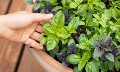 4 Unexpected Health Benefits of Basil Vitamins and other important nutrients in basil: Vitamins: Vitamin K, Iron, Calcium, Vitamin A.*  * Basil is either an excellent or very good source of all of these nutrients and vitamins. There are many other nutrients, minerals and vitamins present in basil that are not listed here such as omega-3 fatty acid and vitamin C.  Health benefits of basil:   Read more: http://www.care2.com/greenliving/4-unexpected-health-benefits-of-basil.html#ixzz2hM7GPG82