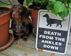 Dachshunds - Death from the ankles down.  So, the contractor guy, he thought the beware of dog sign was a joke.  ...um, not so much dude.  I told you to wait outside until I got the ankle biter put away.